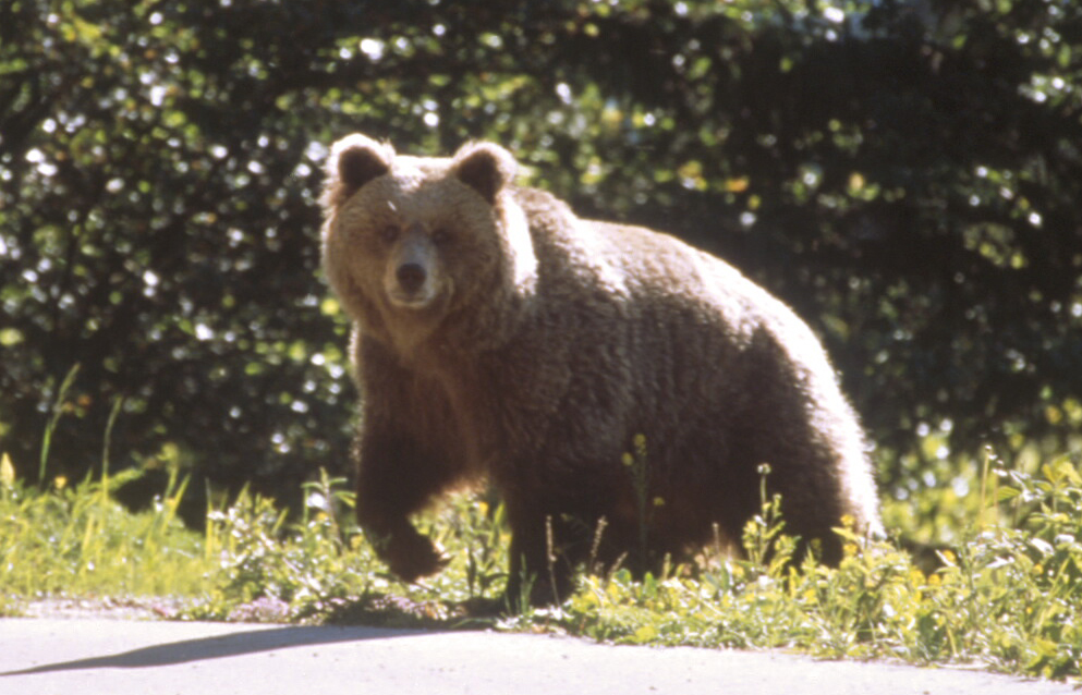 Daniza in the year 2000 – Photo by Gilberto Volcan – Courtesy of Parco Naturale Adamello Brenta